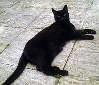 Bombay_cat
